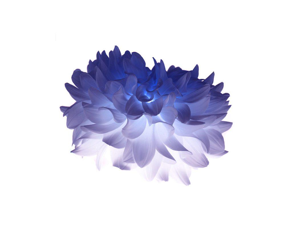 Blume auf Weiss