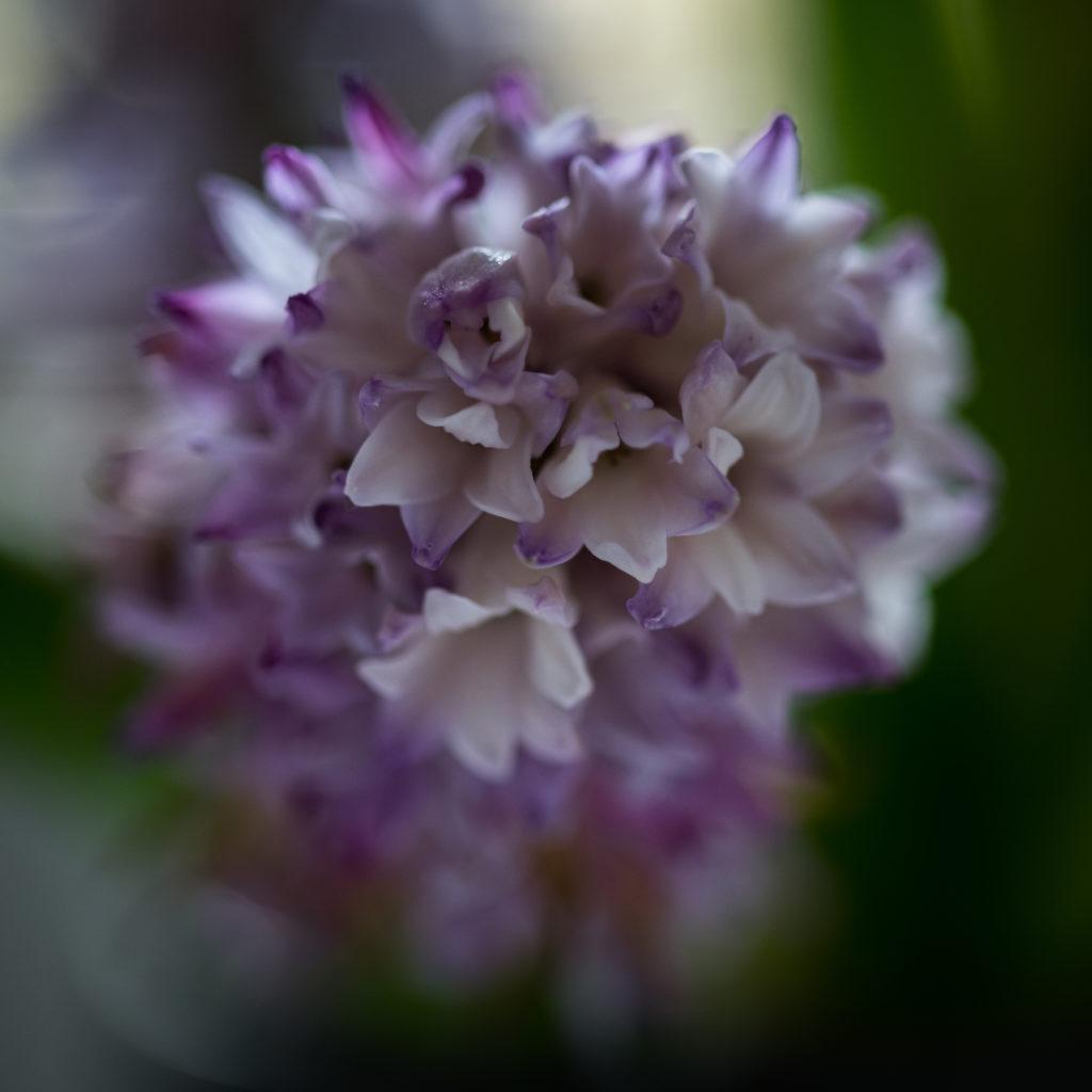 Büroküchenblume
