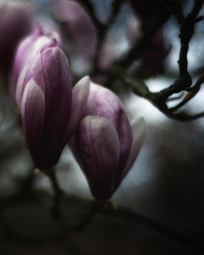 Das jährliche Magnolienfoto